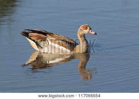 One Egyptian Goose On The Water In Ndutu, Serengeti, Tanzania