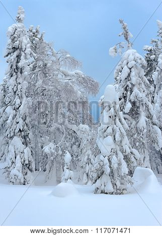 Trees Under A Thick Layer Of Snow