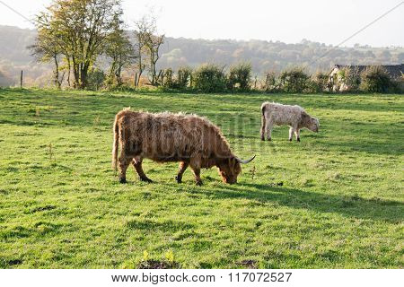 A highland cow and its calf