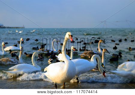 Swans And Dugs