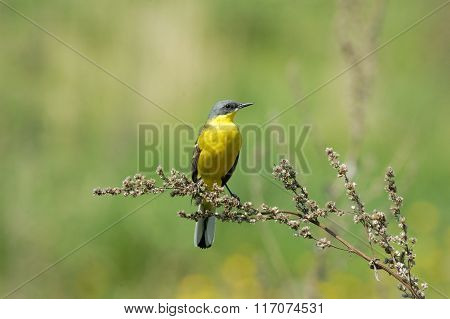Perching Male Yellow Wagtail In Summer Yellow Meadow