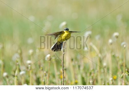 Perching Male Yellow Wagtail At Dandelion Meadow