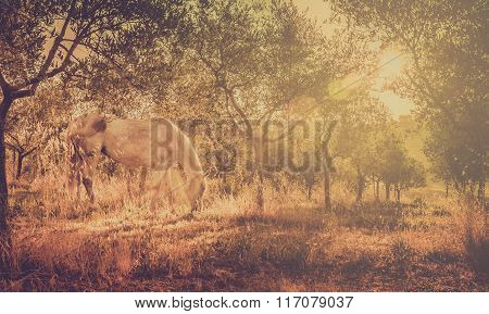 Wild Horse In Olive Orchard