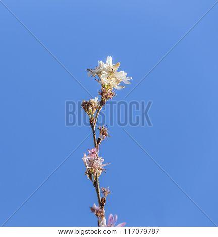 Pink Wild  Cherry Flower (thai Sakura Cherry Blossom) Full Bloom Close-up Macro Under Clear Blue Sky