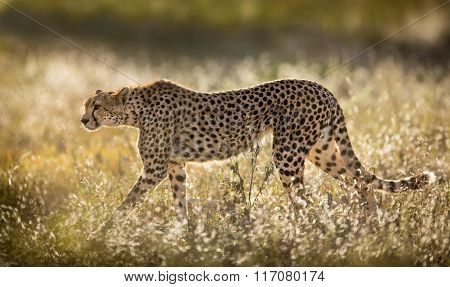 Female Cheetah In The Serengeti National Park In Tanzania