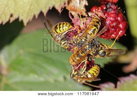 A group of yellow jacket wasps eating raspberry fruit during summer