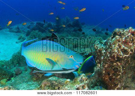 Steephead Parrotfih remora fish coral reef underwater sea ocean