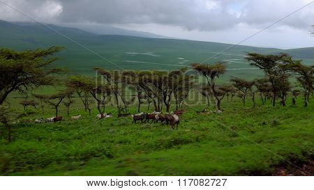 Masai Goats While Safari In The Ngorongoro