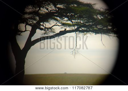Leopard On The Tree While Safari In The Serengeti, Tanzania, Africa