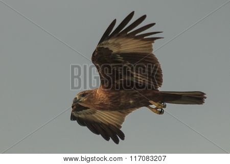 Eagle in flight: Brahminy Kite