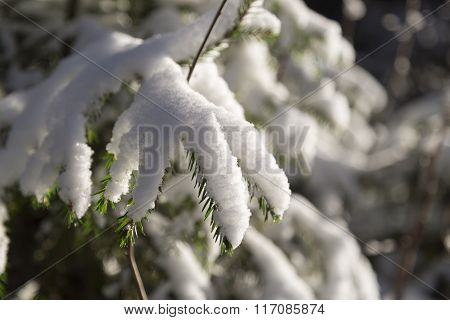 Spruce Twigs Covered In Snow