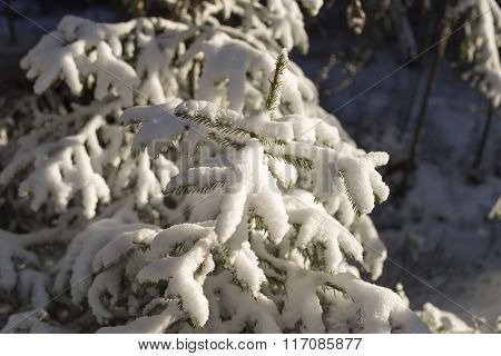 Small Spruce Tree Covered In Snow