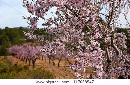 Blooming Almond Trees. Spain