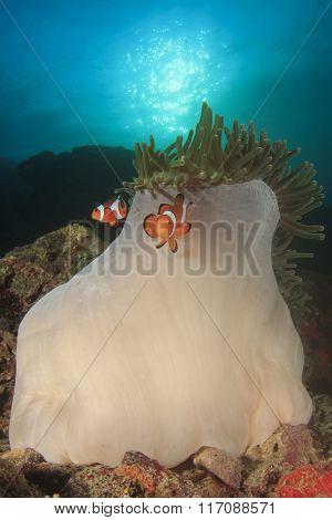Clownfish Clown Anemonefish