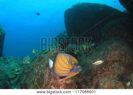 Blue-ringed Angelfish coral reef underwater