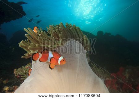 Clownfish Clown Anemonefish