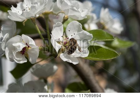 Blooming Apple-tree Flowers On A Branch And A Bee