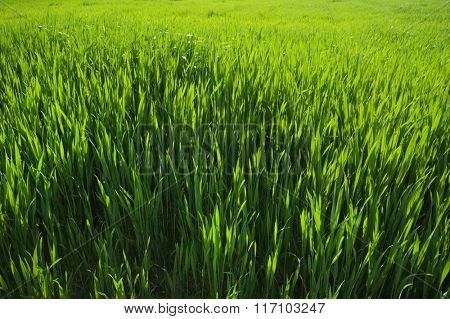 Fresh green grass in spring