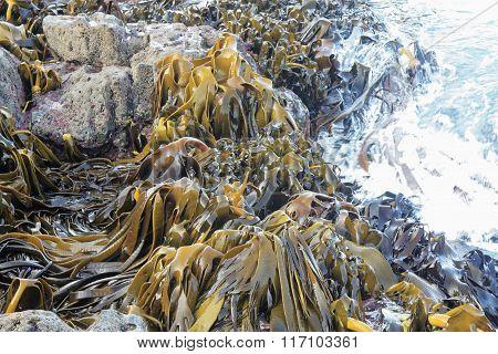 Large Kelp