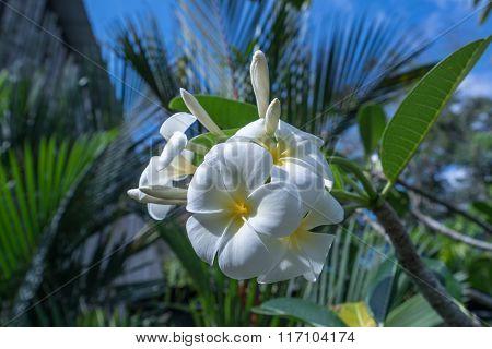 Beautiful exotic flower called Plumeria. Thailand
