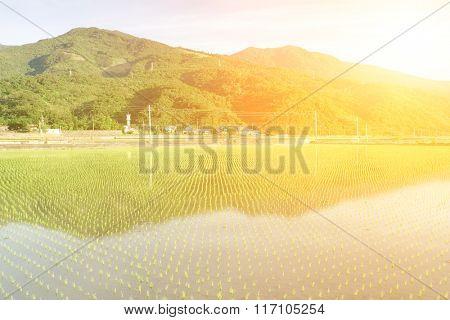 It is a beautiful green rice farm.