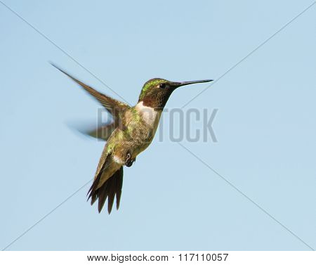 Male Ruby-throated Hummingbird hovering, with a blue sky background
