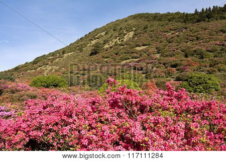 Azalea and hill