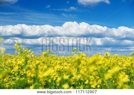 Beautiful spring landscape, yellow flower in rapeseed field