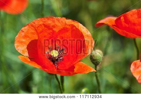 red poppy flower closeup at green field, beautiful spring landscape