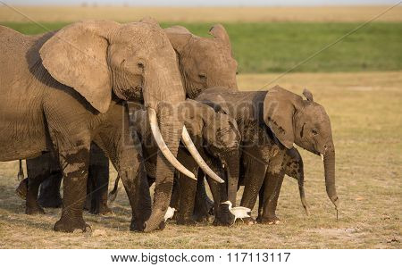 Herd Of Elephants In Amboseli, Kenya