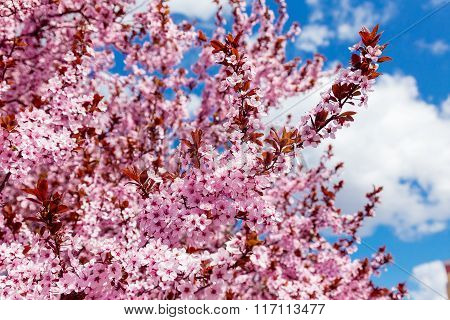 Pink Blossoming Magnolia Tree On A Blue Sky Background