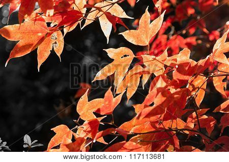 Maple Leaf In Winter