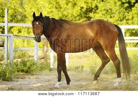 Brown stallion standing in the sun