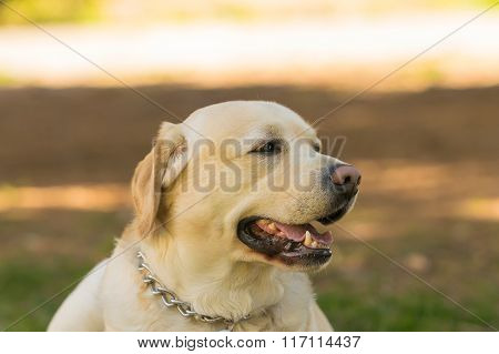 Labrador dog portrait at a park. A detailed close up look.