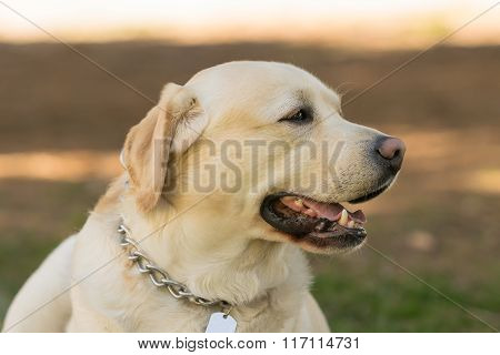 Beautiful Labrador dog portrait.