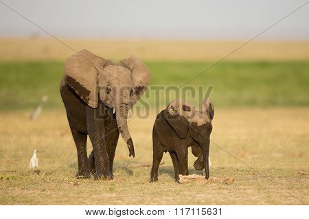 Two Young Wet African Elephants, Amboseli, Kenya