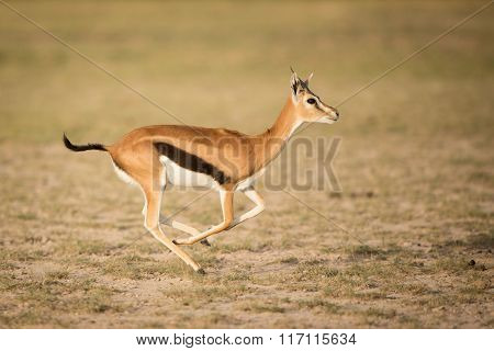 Female Thompson's Gazelle Running, Amboseli, Kenya