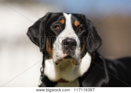 Greater Swiss Mountain Dog Outdoors In Nature