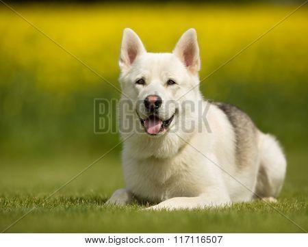 Samoyed Dog Outdoors In Nature