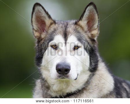 Purebred Alaskan Malamute Dog Outdoors In Nature