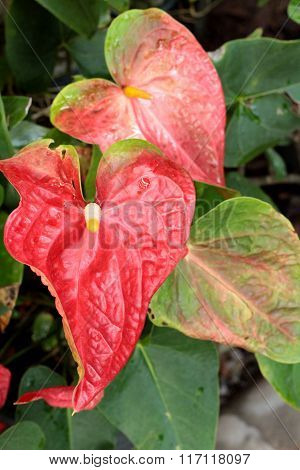 Anthurium Flowers At Beauty In The Nature.