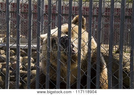 Brown bear in the zoo on a hot day licking the bars