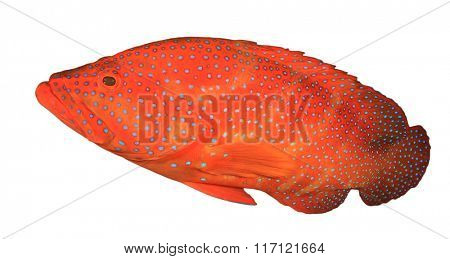 Live red Coral Grouper fish isolated on white background
