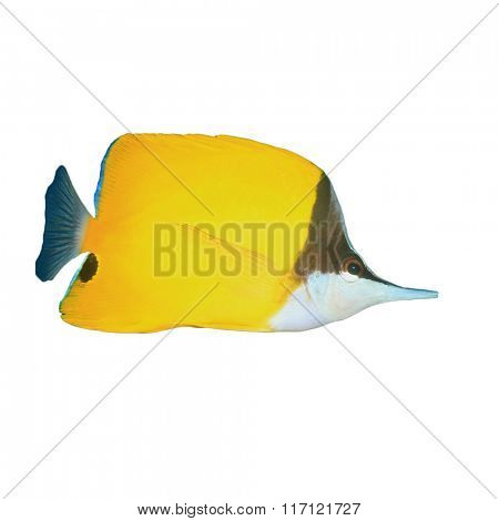 Longnosed Butterflyfish isolated on white background