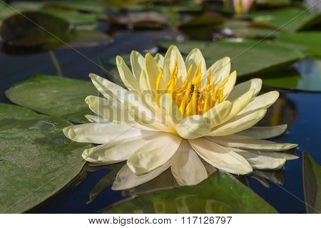 White lotus with the leaf