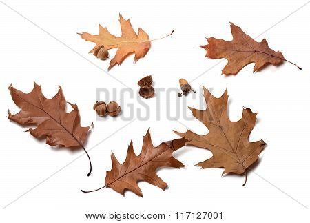 Autumn Oak-tree Leafs And Acorns \