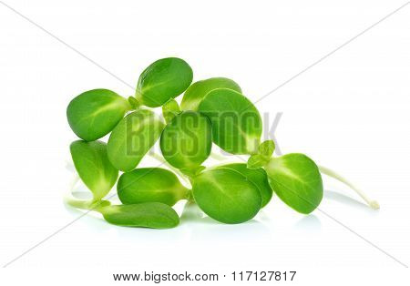 Sunflower Sprouts Isolated On The White Background