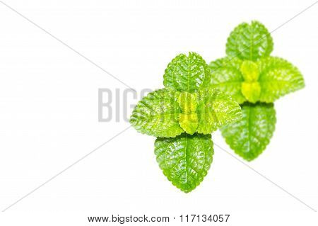 Peppermint Fresh beautiful Isolated on white background