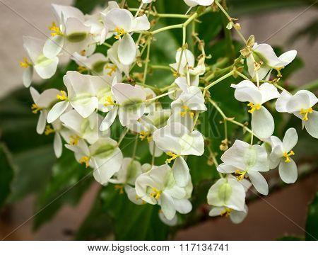 White flowers begonias