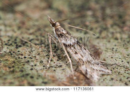 Eudonia angustea micro moth
